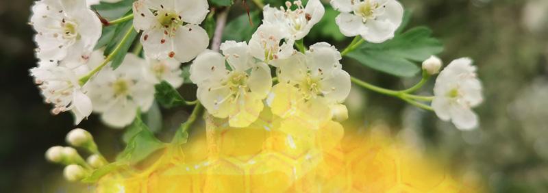 fond pour recolte fleurs acacia aubepine
